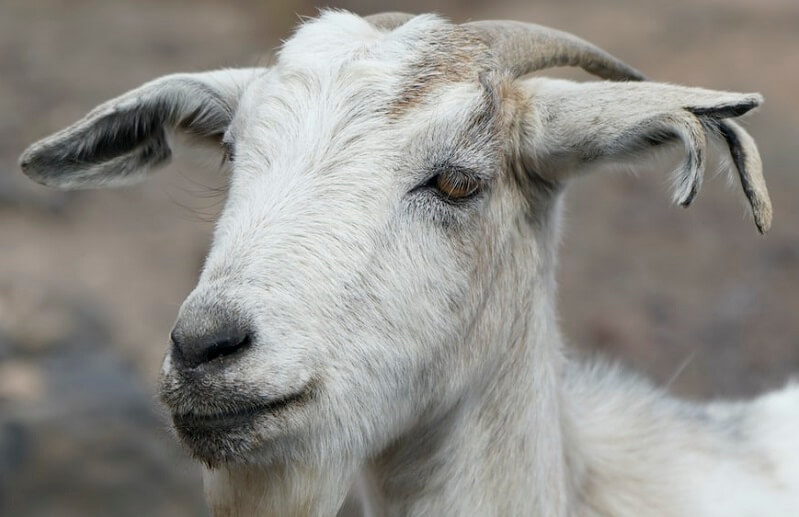 cabra-ganaderia